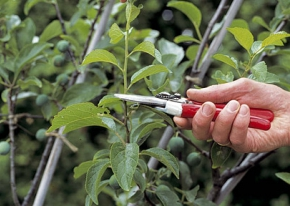 Mid summer fruit tree pruning