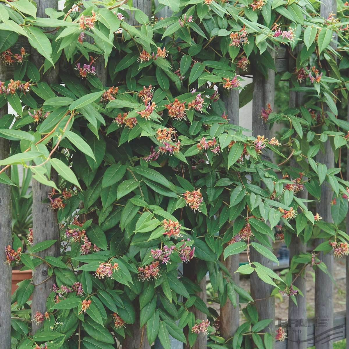 Gareth austin decorate the fence with year round colour for The evergreen